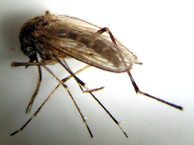 Adult mosquito